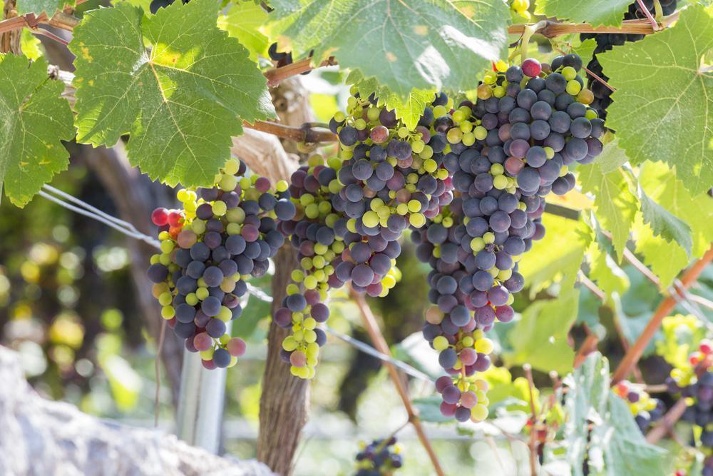 Turismul viticol