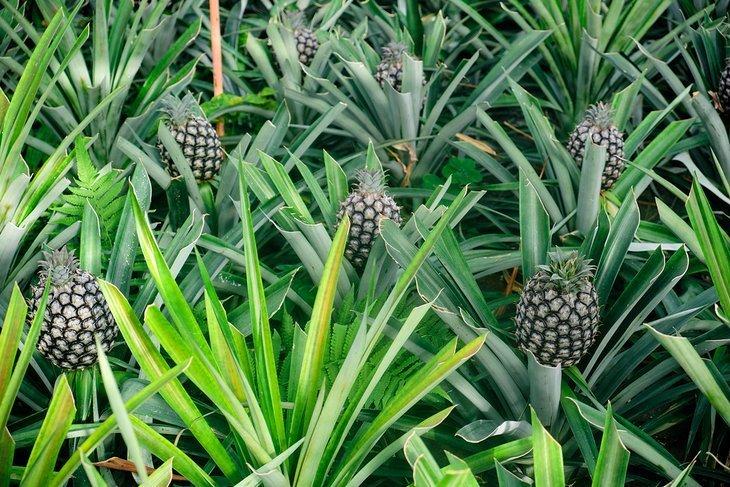 Arruda Açores Plantation de ananas
